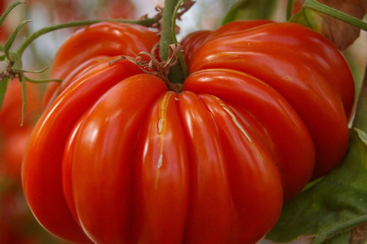 Описание сорта томата вермилион, его характеристика и урожайность – дачные дела