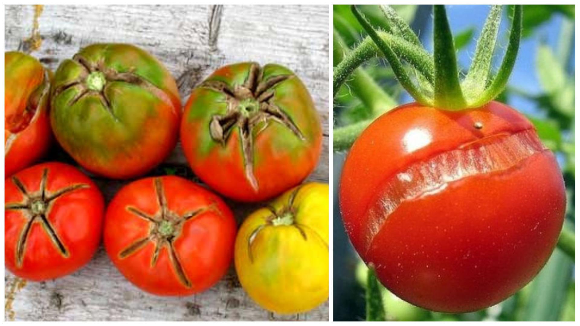 Почему трескаются помидоры в теплице при созревании на кустах, что делать