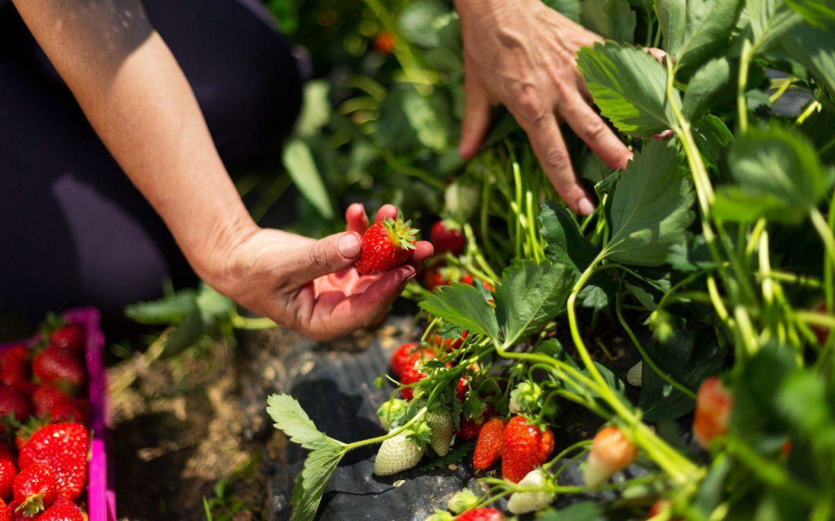 Выращивание клубники в теплице - первый урожай в мае