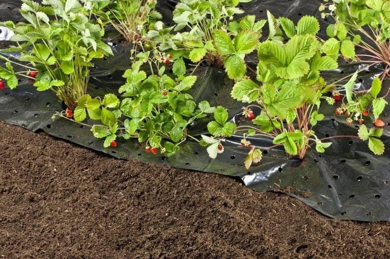 Мульчируем клубнику от сорняков — самые лучшие методы