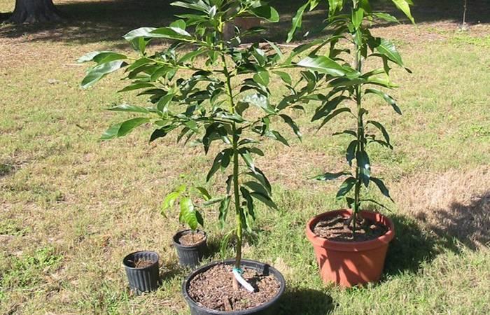 Как вырастить персик из косточки в домашних условиях