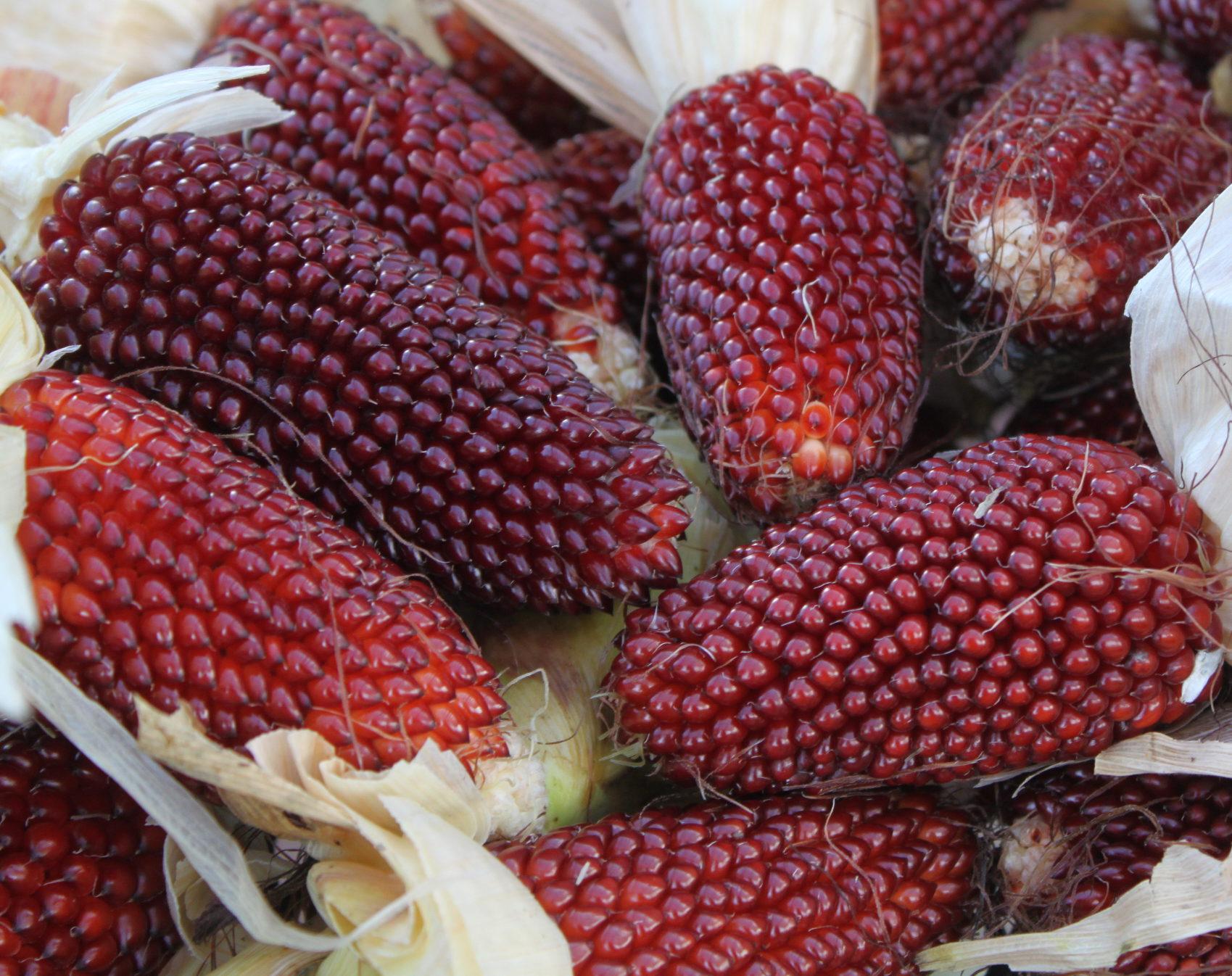Кукуруза: выращивание из семян, посадка и уход в открытом грунте, виды и сорта, фото