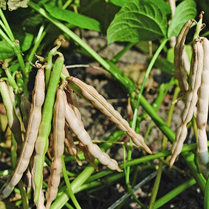 Выращивание фасоли — agroxxi