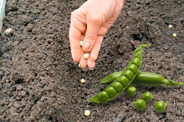 Как сажать горох: уход и посадка в открытый грунт семенами, выращивание