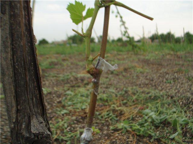 Прививка винограда: сроки и время. как правильно прививать черенки, виды и способы