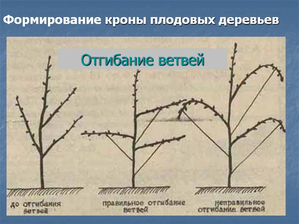 Почему не плодоносит черешня: что делать, не цветет, как заставить почему не плодоносит черешня: что делать, не цветет, как заставить