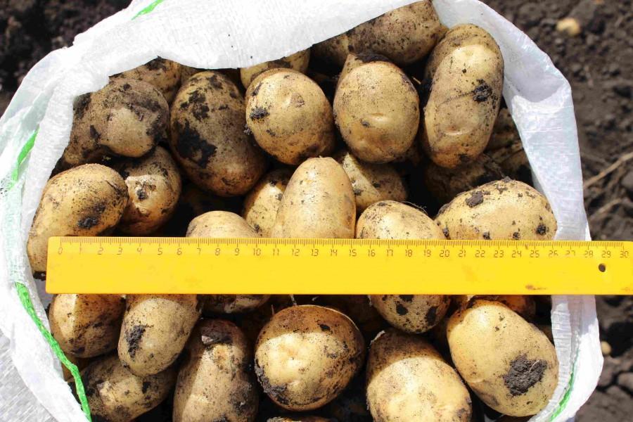 Сорт картофеля «джелли» – описание и фото