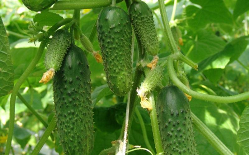 """Огурец """"изумрудные сережки f1"""" характеристика гибридного сорта, описание особенностей выращивания и использования"""