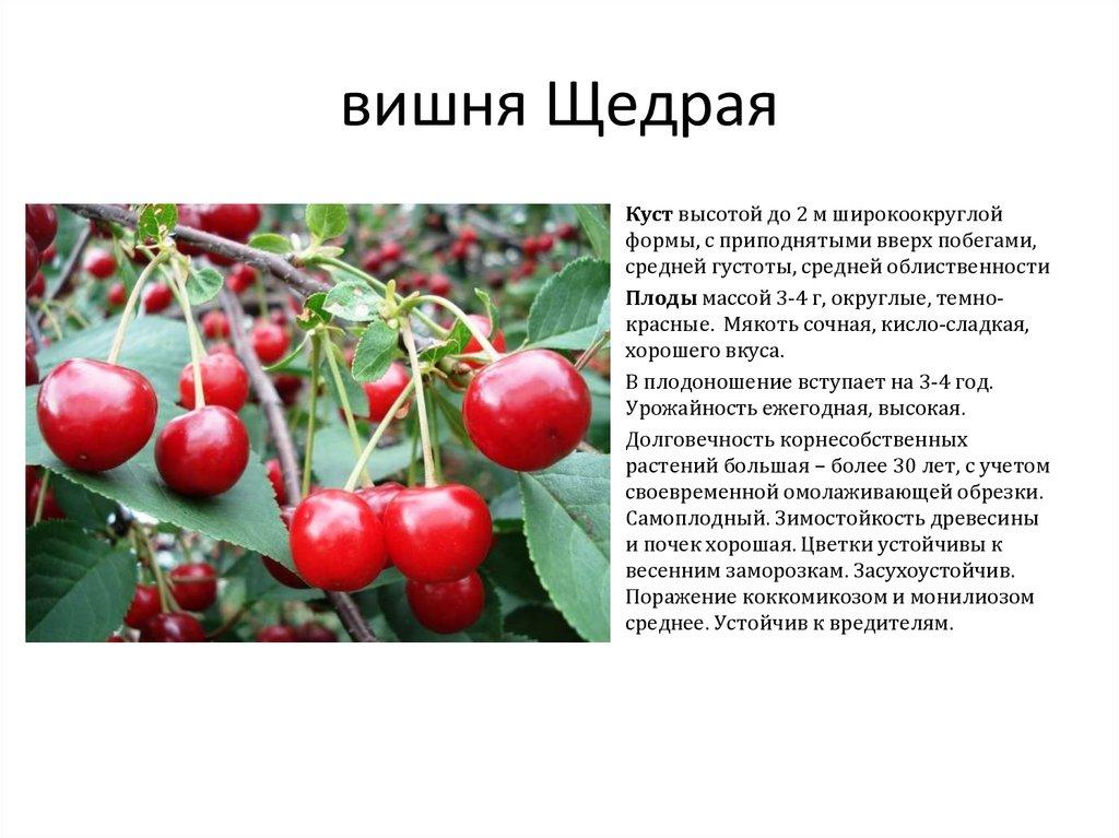 Вишня любская: отзывы, фото, описание, опылители и урожайность сорта
