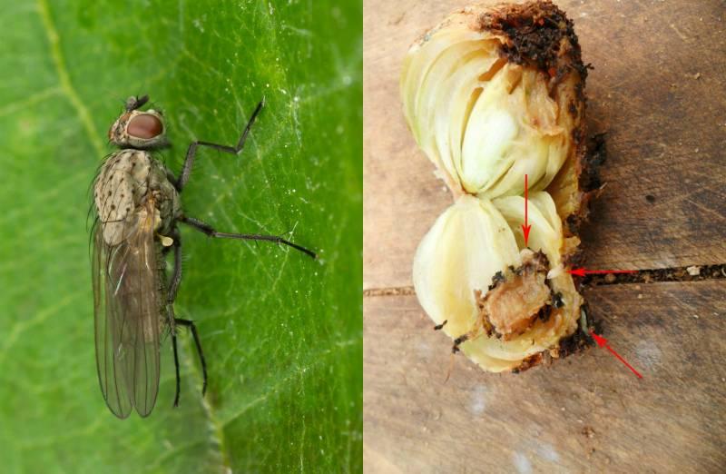 Луковая муха, борьба с вредителем народными и химическими средствами
