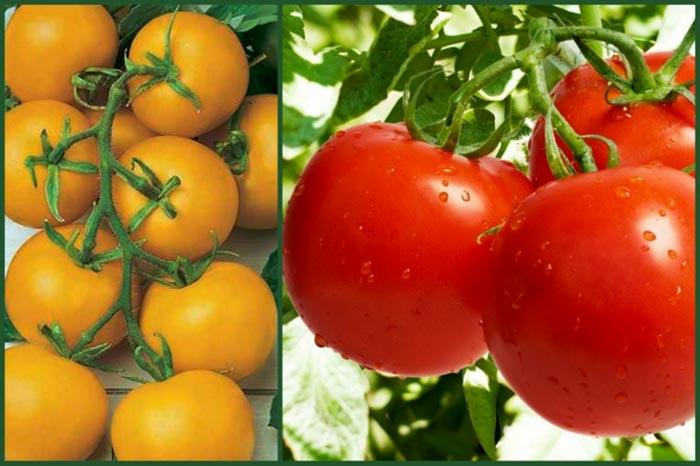 Характеристика и описание томата сорта Санька, урожайность и выращивание