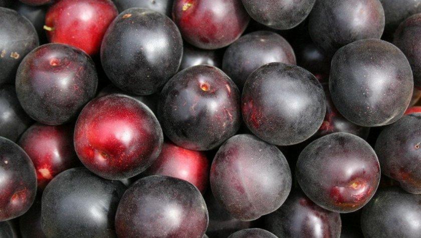 Чёрный принц — один из лучших сортов черноплодного абрикоса