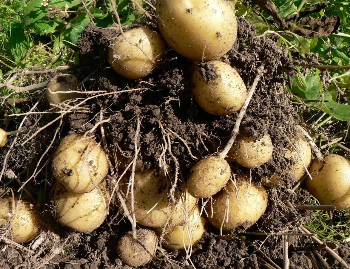 Картофель каратоп: описание, характеристики, фото