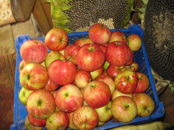 Яблоня штрифель: фото и описание сорта, отзывы