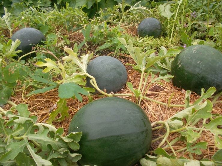 Арбуз огонек: фото, как вырастить и посадить рассаду, описание сорта, отзывы, уход