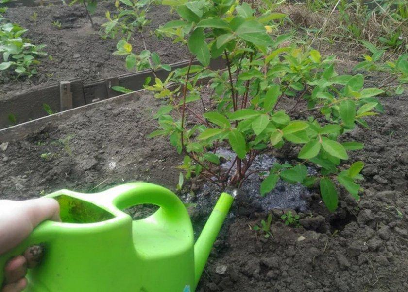 Растение жимолость: полезные свойства ягод и листьев, противопоказания к применению, рецепты приготовления лечебных народных средств