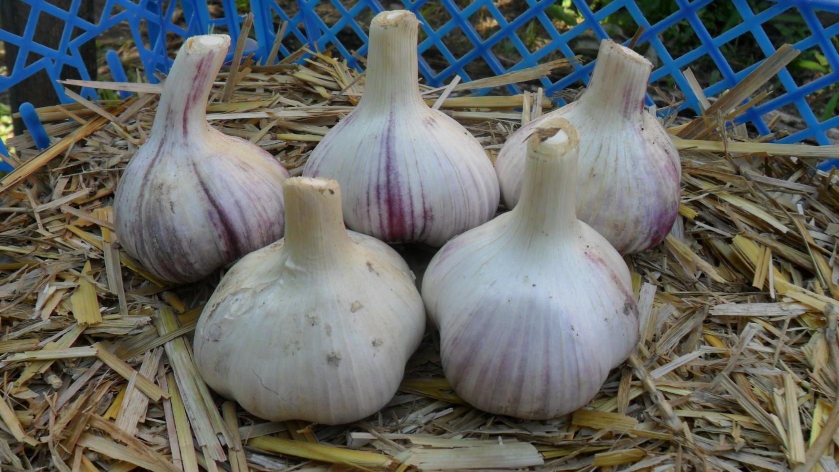 Чеснок любаша озимый: описание сорта, характеристики, урожайность с 1 га