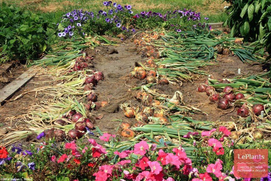 Чем подкормить и как правильно провести уборку лука в дождливое лето