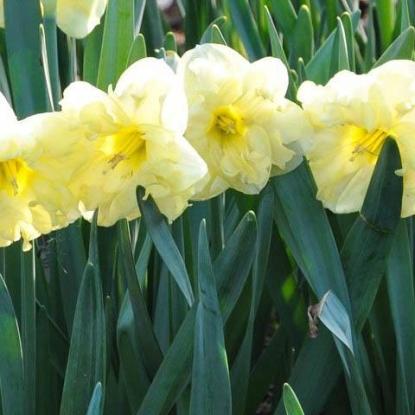 Нарциссы - сорта с фото и названиями, как выглядят желтые, белые, розовые нарциссы, видео