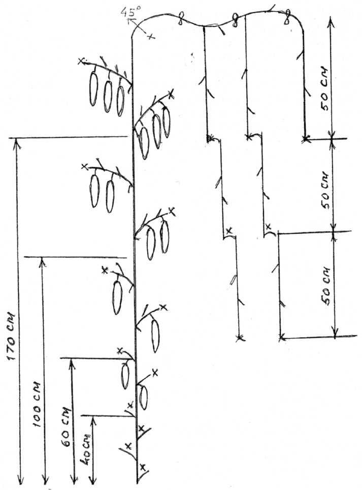 Правильное формирование огурцов в теплице и открытом грунте в зависимости от сорта: пошаговая инструкция и схема