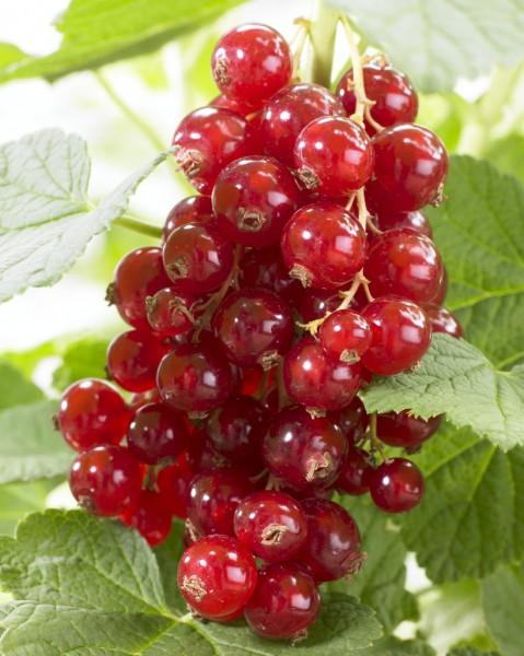 Красная смородина джонкер ван тетс – описание сорта и отзывы садоводов