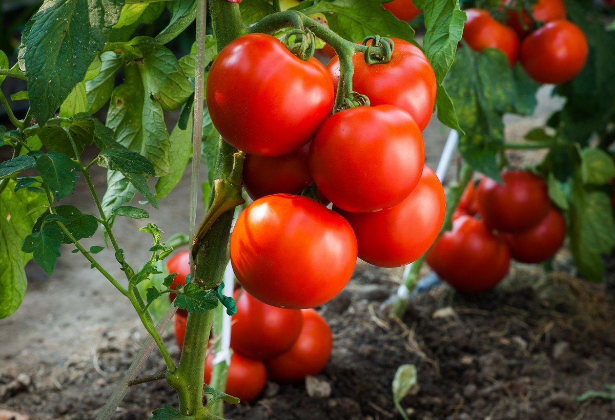Томат безрассадный: сорта, выращивание, уход