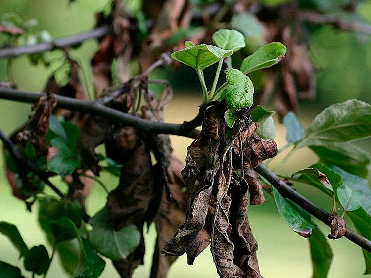 Болезни яблони: описание и способы их лечения, меры борьбы, почему не плодоносит, сбросила листья и прочие проблемы в выращивании + фото