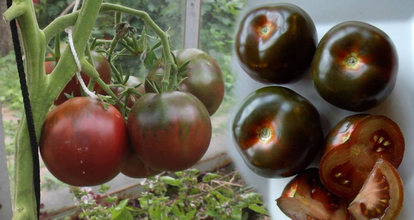 Томат черный принц - описание, характеристика, фото, выращивание русский фермер