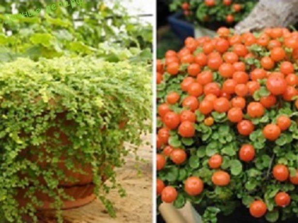 Выращивание рассады кохии: посадка семян, уход в домашних условиях, высадка
