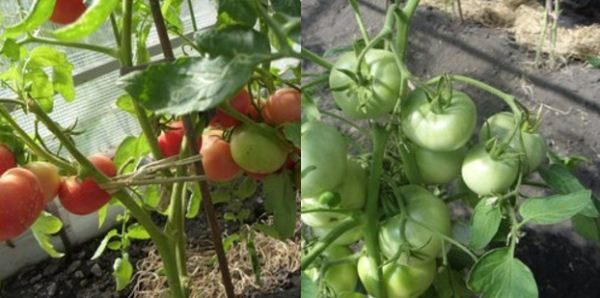 Томат «кукла маша» f1: описание сорта, особенности выращивания и профилактика болезней помидоры