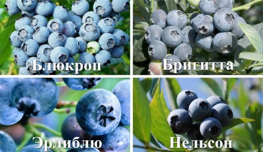 Голубика дюк: описание сорта, фото, отзывы - растения и огород