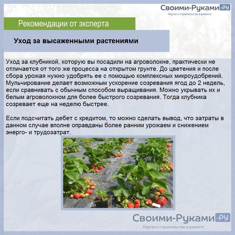 Новинка садовой земляники – ультраранний сорт «флер». характеристики и особенности выращивания