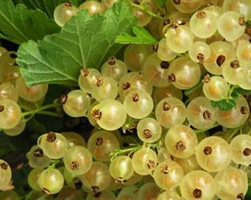 Смородина версальская белая - описание, урожайность, выращивание, отзывы садоводов о сорте, применение ягод