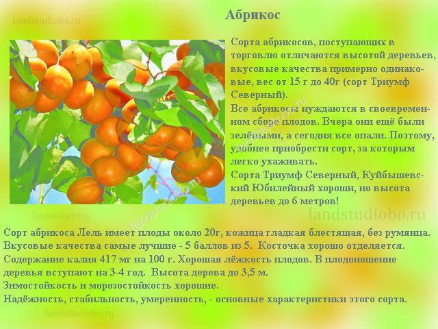 """Абрикос """"лель"""": описание сорта, фото, отзывы"""