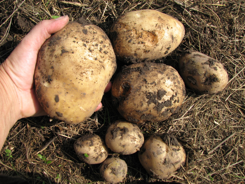 Сорокодневка сорт картофеля