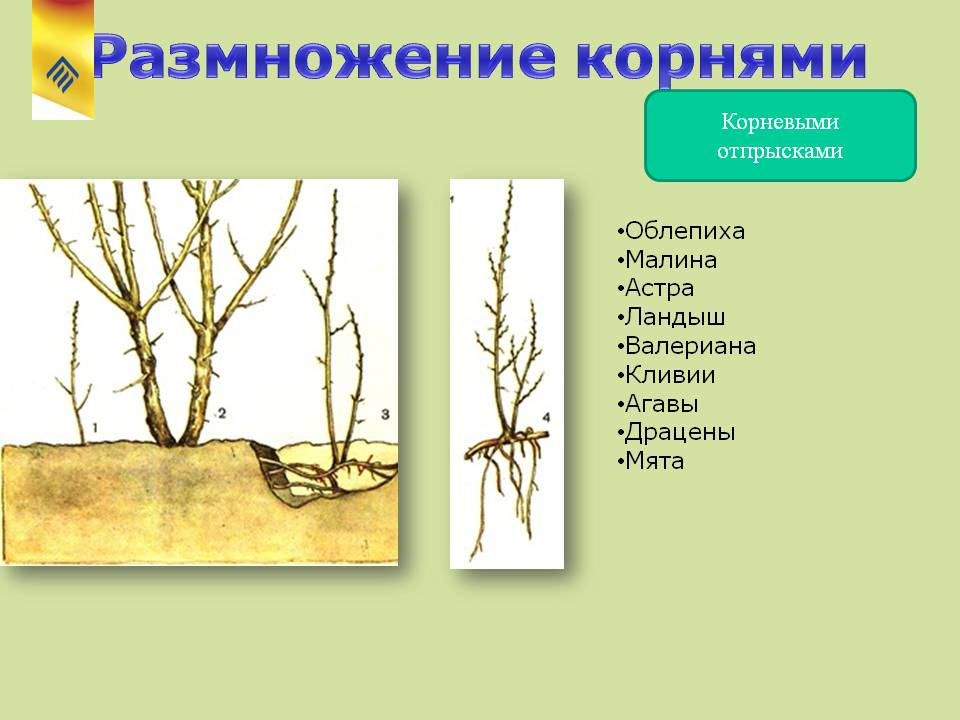 Как размножить облепиху зелеными черенками