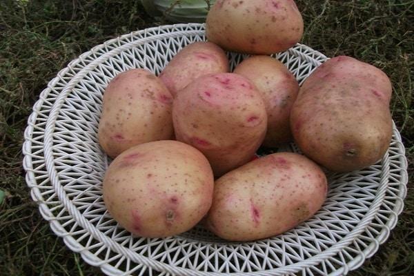 ✅ картофель снегирь характеристика сорта отзывы вкусовые качества. характеристика сорта картофеля снегирь - живой-сад.рф