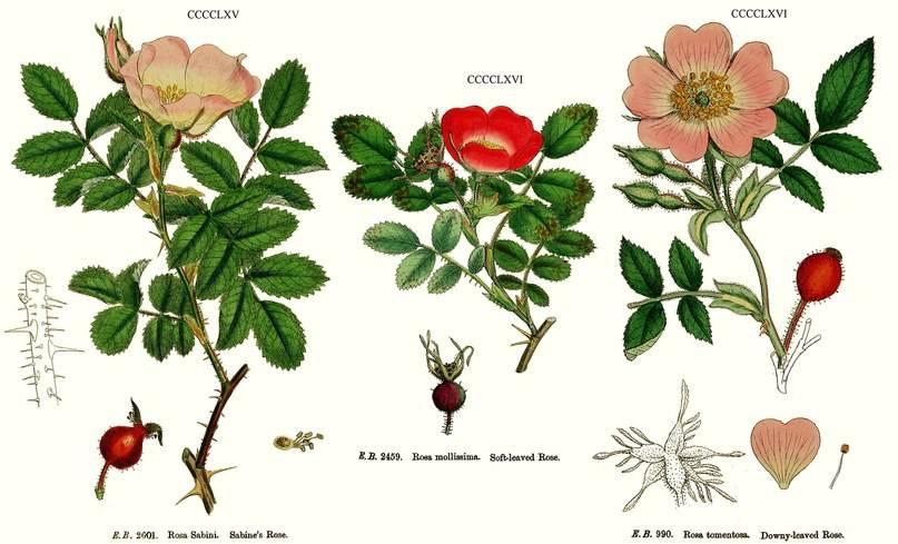 Шиповника плоды (rosae fructus)