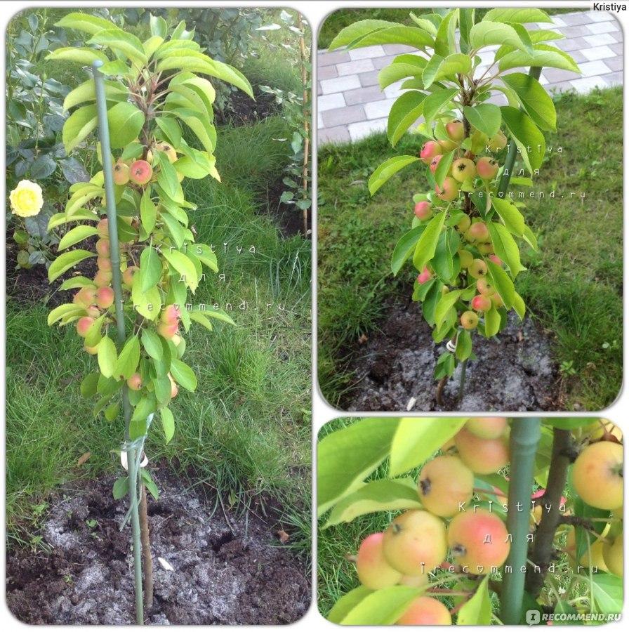 Почему не плодоносит колоновидная яблоня что делать
