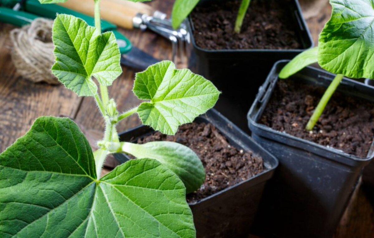 Выращивание тыквы как бизнес - бизнес-план на тыквах с расчетами