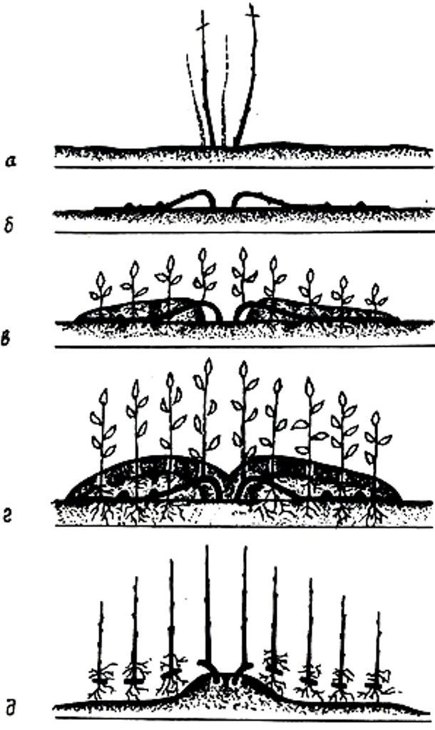 Виноград софия: описание сорта