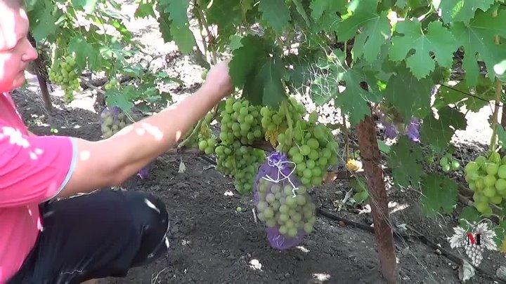 Как защитить виноград от ос и мух: во время его созревания, видео