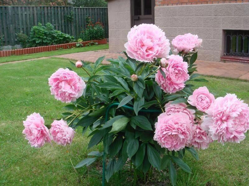 Пион сара бернар — фото, описание сорта, выращивание и уход