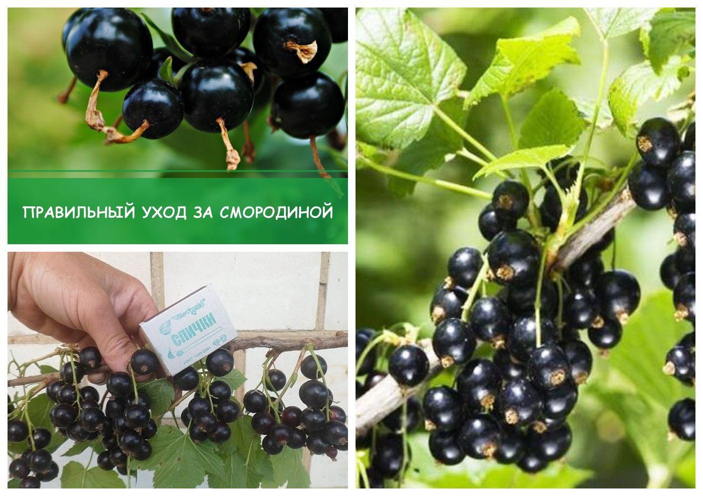 Крупноплодная и ароматная смородина ядрёная: особенности посадки и уход за растением