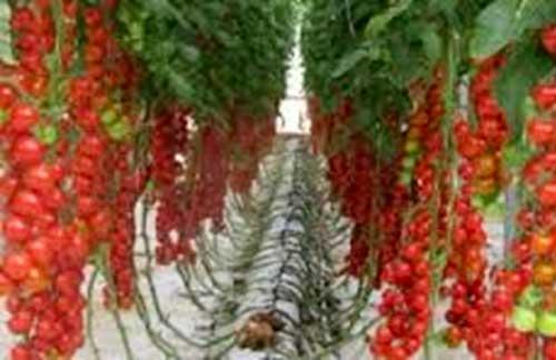 Как вырастить помидоры на гидропонике? - гидропоника | описание, советы, отзывы, фото и видео