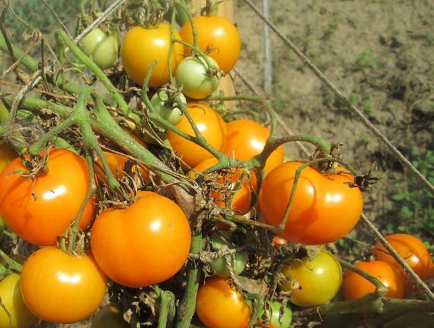 Томат «мандаринка»: для тех, кто любит красивые формы