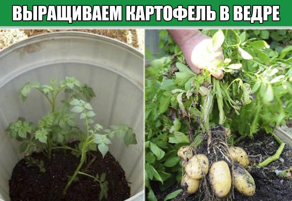 Как сажать картофель: сроки, способы, подготовка клубней и почвы