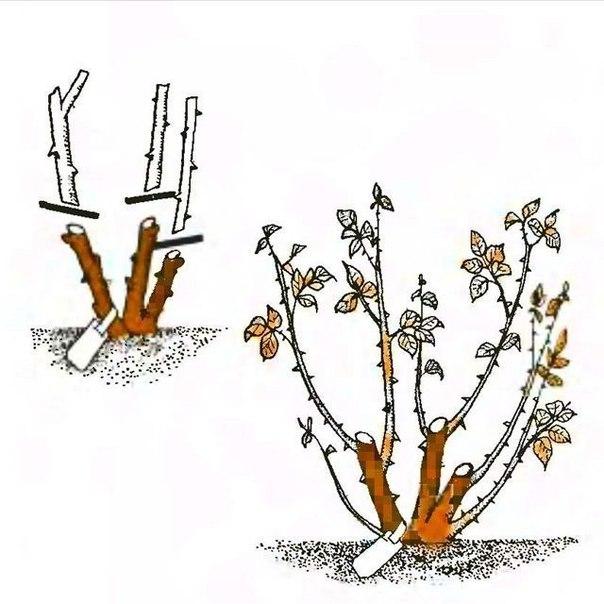 Уход за розами осенью: подготовка к зиме, обрезка