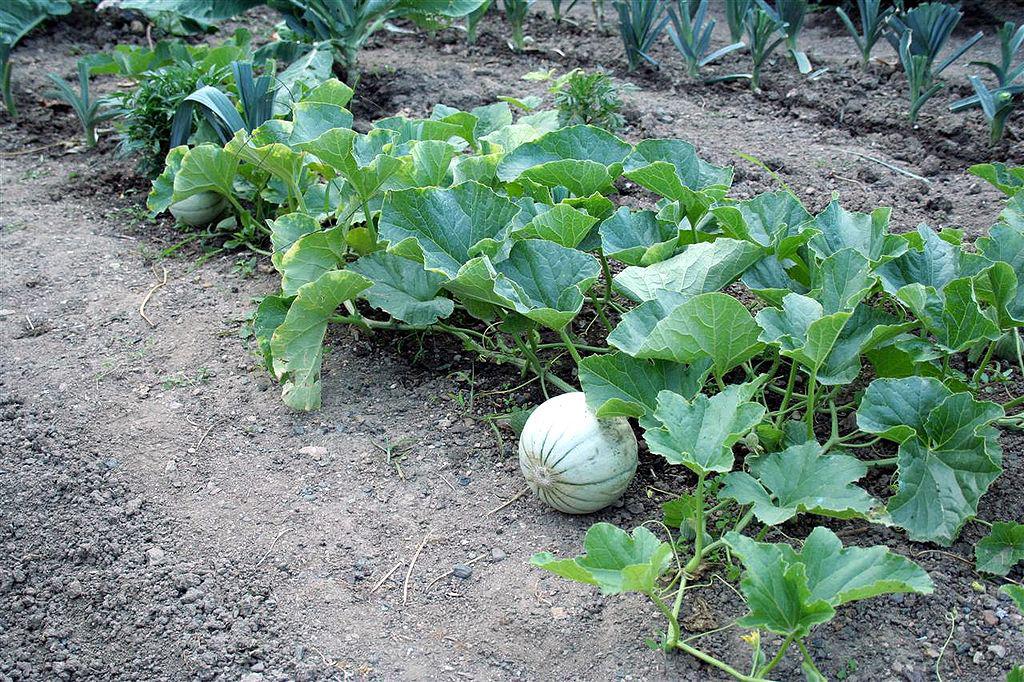Выращивание патиссонов: секреты богатого урожая