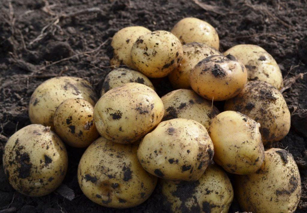 Рогнеда сорт картофеля